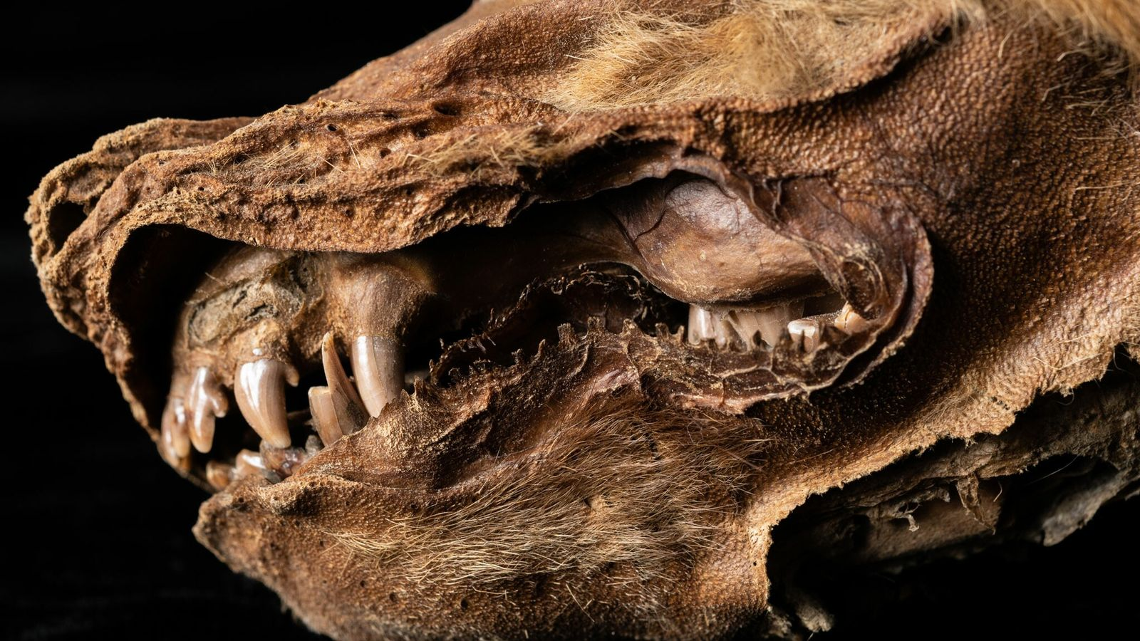 Die gut erhaltenen Überreste eines Wolfwelpen wurden im Permafrostboden des nordkanadischen Yukon Territorys gefunden.