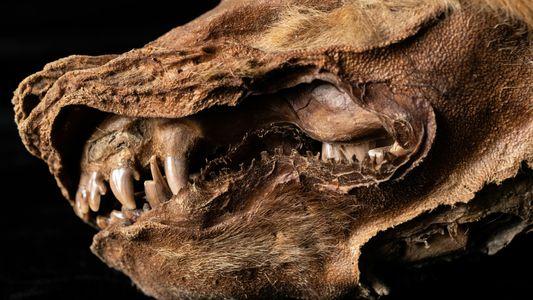 Dieser Wolfwelpe ist 57.000 Jahre alt
