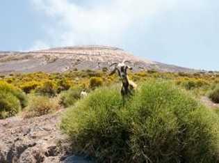 Ziegen, wie hier am Hang des Vulcano, könnten in Zukunft bei der Prognose von Vulkanausbrüchen eine ...
