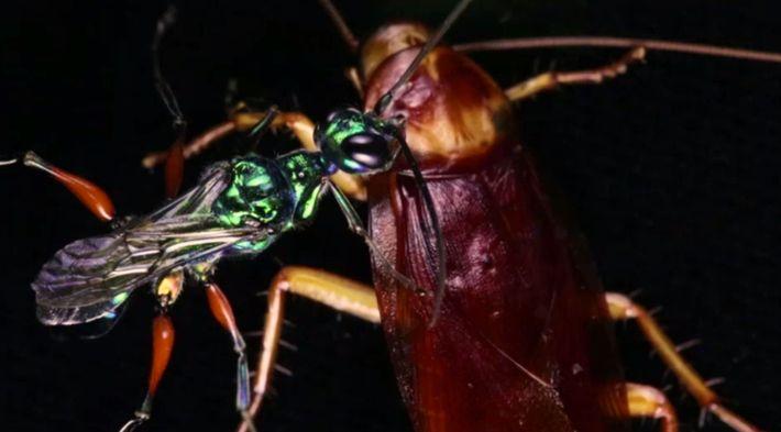 """Diese Wespe verwandelt ihre Beute in einen """"Zombie""""."""