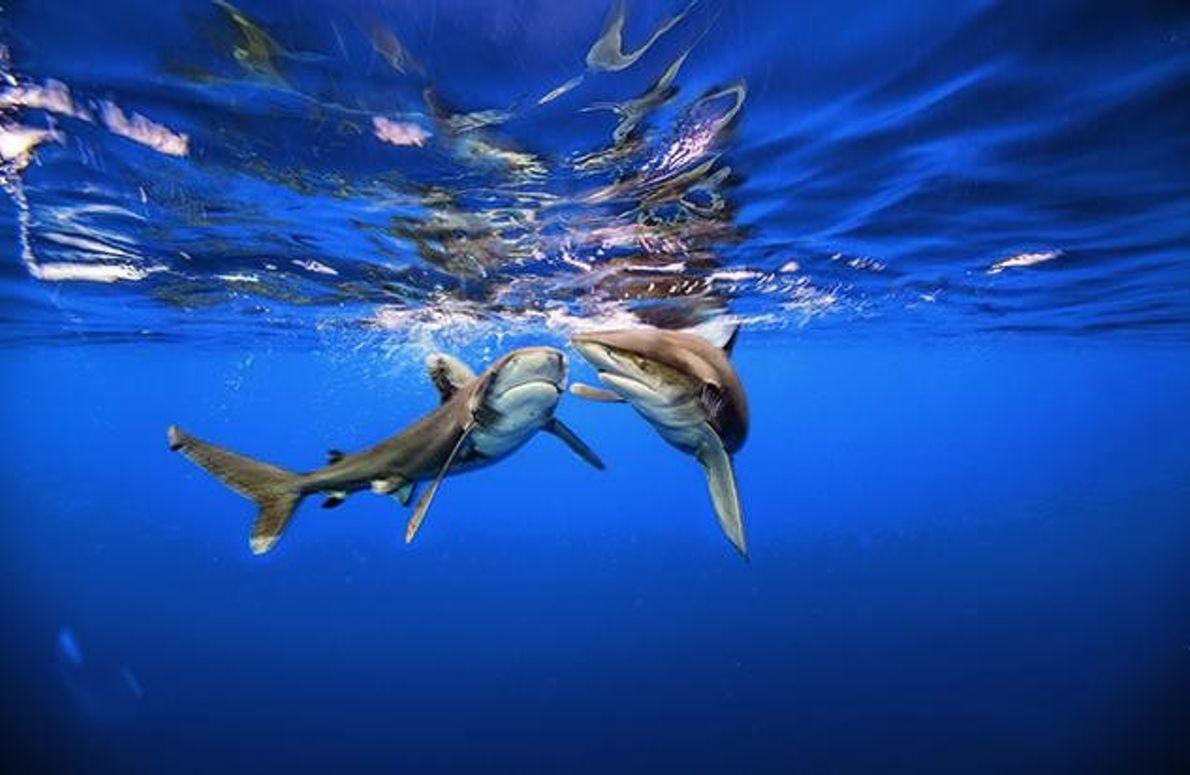 Zwei Weißflossenhaie gelten als Schwarm